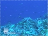 Group of Square-tail Coral Grouper