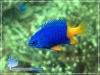 Blue-yellow Damselfish