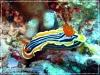 Banded Nudibranch
