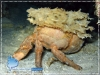 Decorator Crab with Sponge