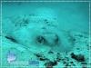 Porcupine Stingray