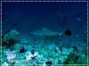 20100323_AM_0103_Blacktip-shark_600