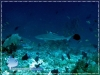 20100323_AM_0103_Blacktip-shark_600