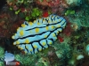Yellow Spotted Nudibranch