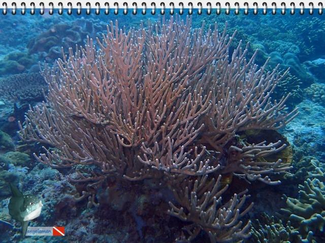 Bambu Laut