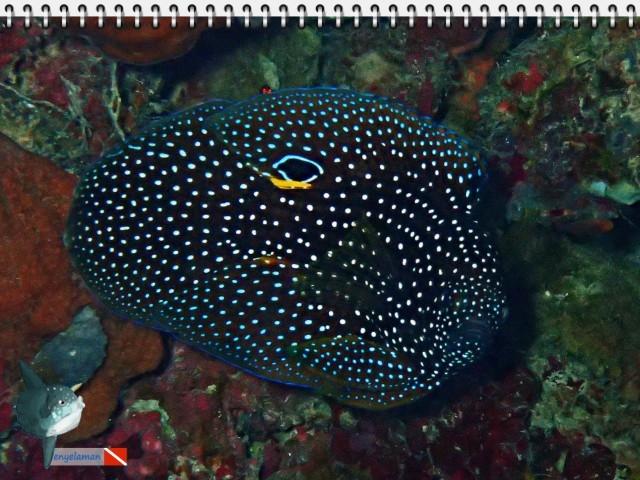 Ikan Komet - Calloplesiops altivelis