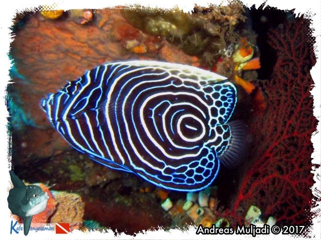 Emperator Angelfish