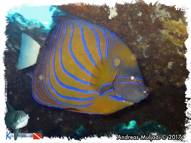 Blue-ring Angelfish