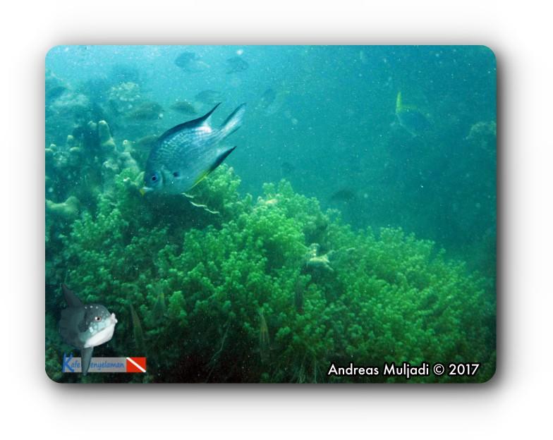 Whitebelly Damselfish on Grape Seaweed