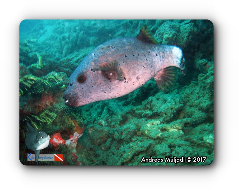 Ikan Buntal - Pufferfish