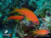 Blue Eyes Anthias