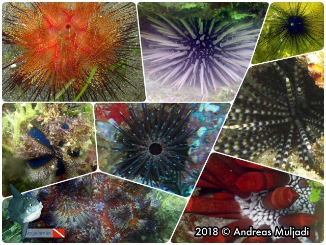 Sea Urchin or Bulu Babi