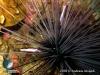 Simbiosis Udang Kecil hidup di Bulu Babi Duri Panjang