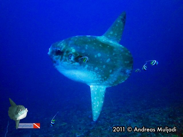 Bump-head Sunfish (Mola alexandrini)
