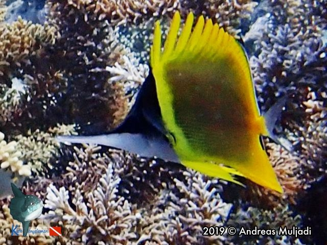 Cenderawasih Long-nose Butterflyfish