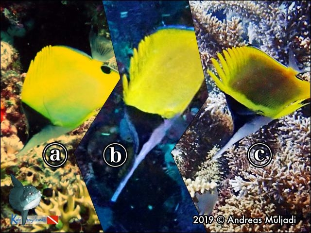 Type of Forcepsfish or Long-nose Butterflyfish