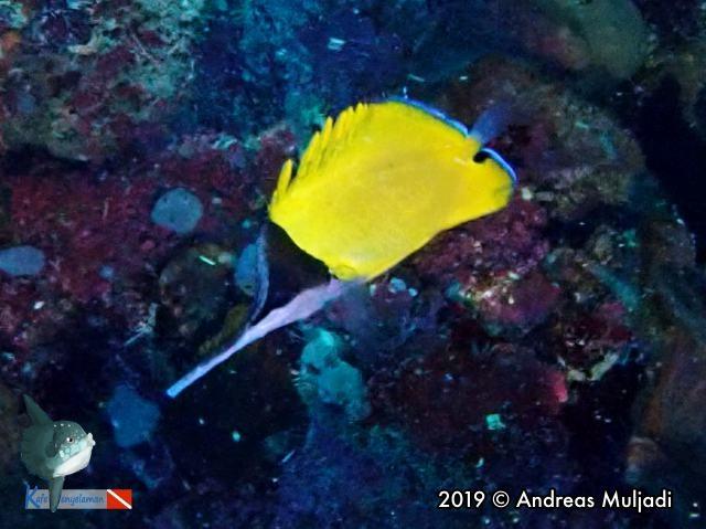 Long-nose Butterflyfish - ikan kepe-kepe monyong panjang