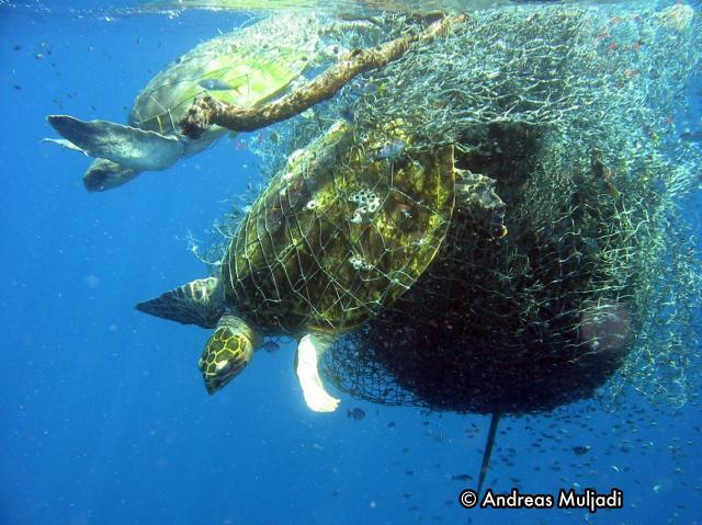 Penyu tersangkut jaring nelayan