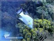 Caribbean Hogfish