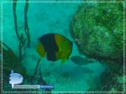 Caribbean Angelfish