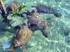 Feeding Green Turtle