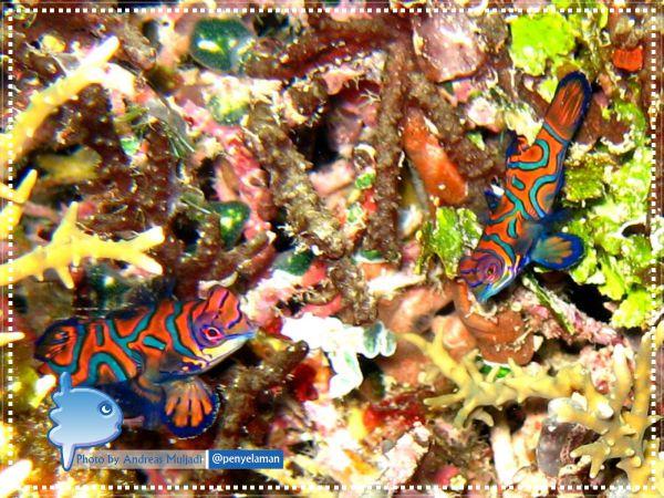 Sepasang Ikan Barongsai
