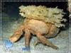 Decorator Crab with Sponge