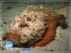 Synanceia verrucosa