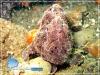 Black Frog Fish