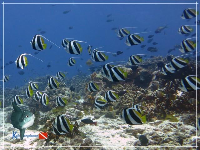 Bannerfish Schooling