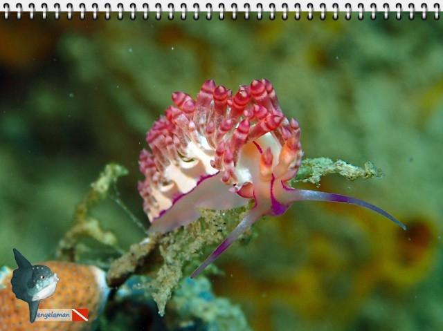 Nudibranch Flabellina rubrolineata