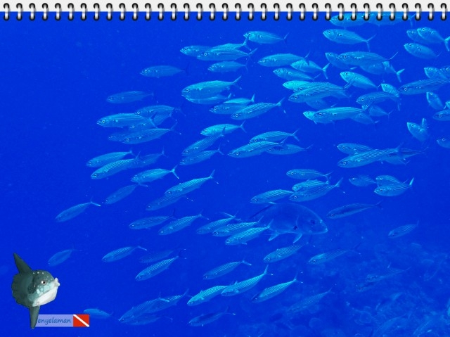 The Giant Trevally in the middle of Indian Mackerel Group