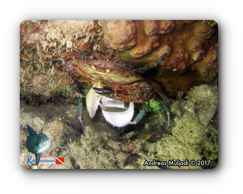 Crab feed on bivalve