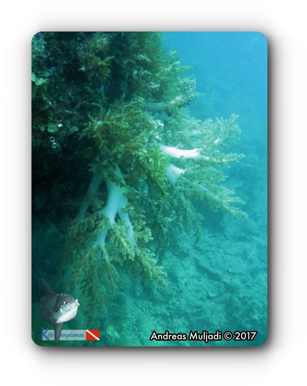 Softcoral (Litophyton arboreum)