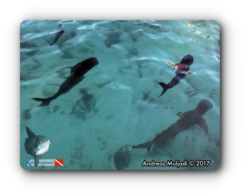 Trevally and Shark n Captivity
