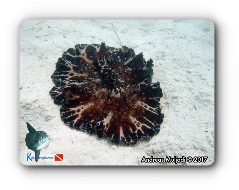 Discodoris Nudibranch