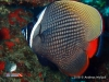 Collare Butterfly Fish