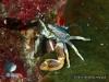 Giant Anemone Crab