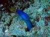 Ribbon Moray eel