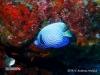 Juvenile of Angelfish