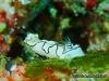 Black-lined Nudibranch