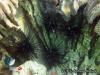 Bulu Babi hitam