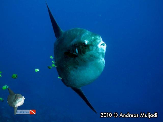 Ikan  mola mola dari Nusa Penida (Mola alexandrini)