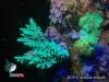 Acropora Branching