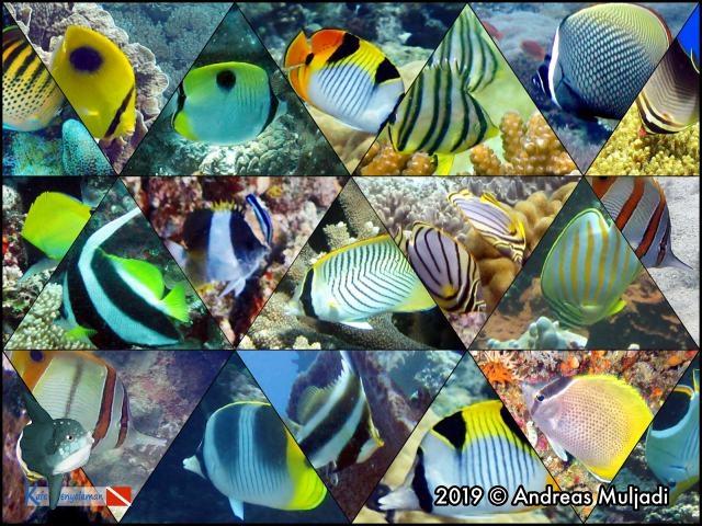 Ikan Kepe Kepe Moncong Panjang Kafe Penyelaman