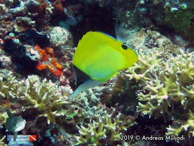 Forcepsfish - Ikan kepe-kepe monyong