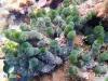 Green Buuble Seaweed