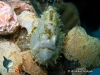 Grey Frogfish