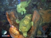 Pair of Giant Frogfish