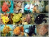 Collage og Frogfish